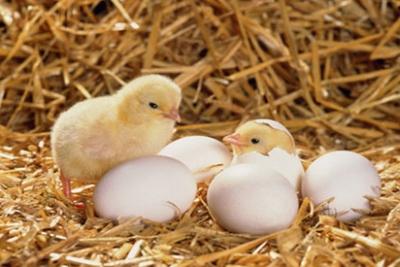 Kỹ thuật ấp trứng gà đơn kỳ và đa kỳ đạt hiệu quả cao