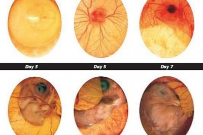 Ảnh hưởng của nhiệt độ đối với sự phát triển của trứngg