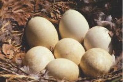 Kinh nghiệm ấp trứng ngỗng bằng máy đạt hiệu quả cao