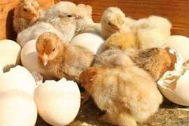 Quy trình ấp trứng gà vịt bằng hình ảnh